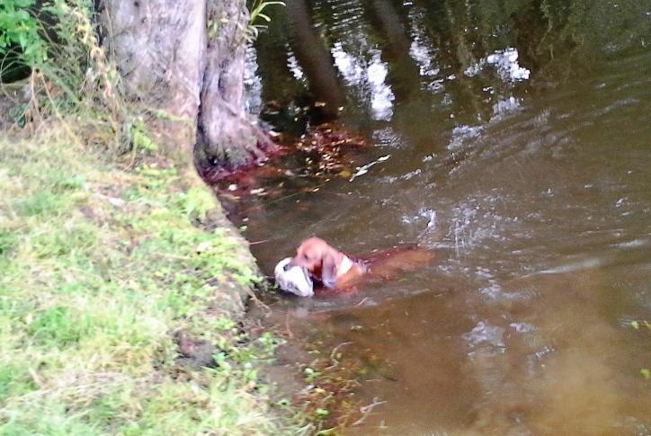 Dingo beim Wassertest